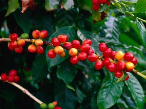 ann-cecil-the-red-coffee-cherry-arabica-typica-honaunau-hawaii-big-island-hawaii-usa_i-G-20-2097-2SS2D00Z
