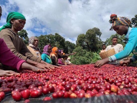 Ethiopia Guji G1 Uraga Red Honey Prcess 1