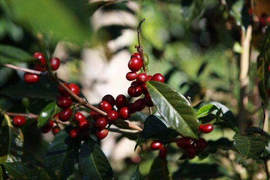 เมล็ดกาแฟคั่ว Panama Geisha Esmeralda Speical Natural
