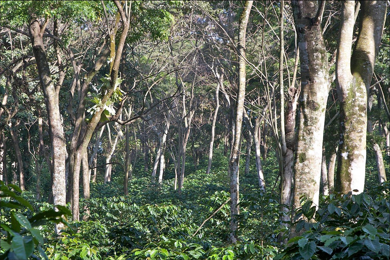 Ethiopia Gesha Bench Maji Natural
